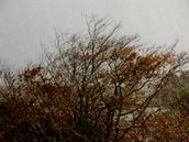 Zelda Wynn; Autumn rain; Autumn rain and sunshine on copper beech. I liked the light and texture.
