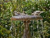 Zelda Wynn; Splash & bathe; Sparrows bathing, Parnell Rose Gardens